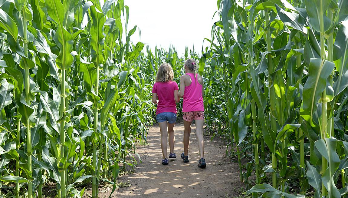 Kukuřičáci - bludiště v kukuřici